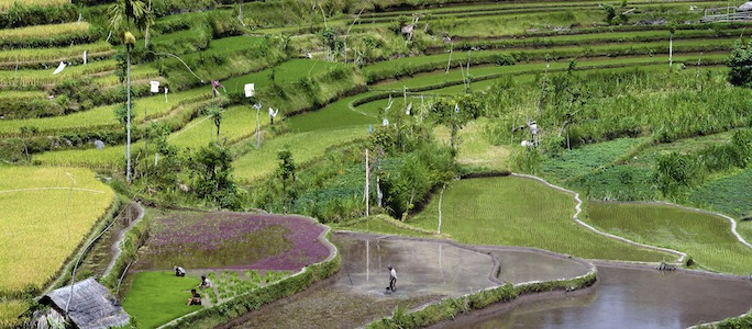 Rice paddys